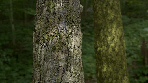 A close-up of a tree trunk mid-section, with out-of-focus trees and greenery in the background.