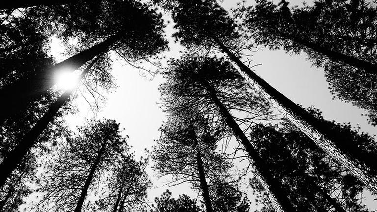 Black and white image of a ring of trees from a ground perspective.